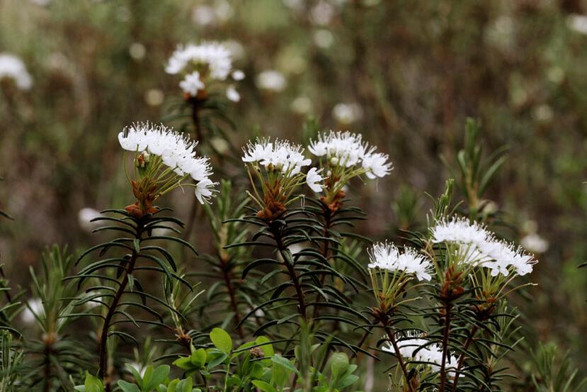 Valkoisia kukkia suolla, lähikuvassa. Kuvaaja Soili Jussila, Vastavalo